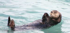 otter lazing on back
